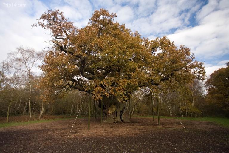 Rừng Sherwood được biết đến nhiều nhất là nơi được cho là của Robin Hood © David Hunt / Alamy Kho ảnh