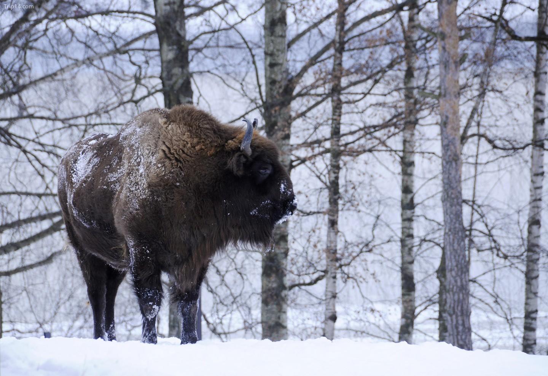 Bò rừng châu Âu trong tuyết   |