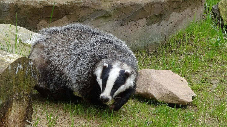 Con Lửng (Badger)