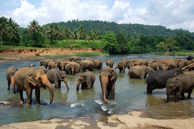 Trại trẻ mồ côi voi Pinnawala - Trip14.com