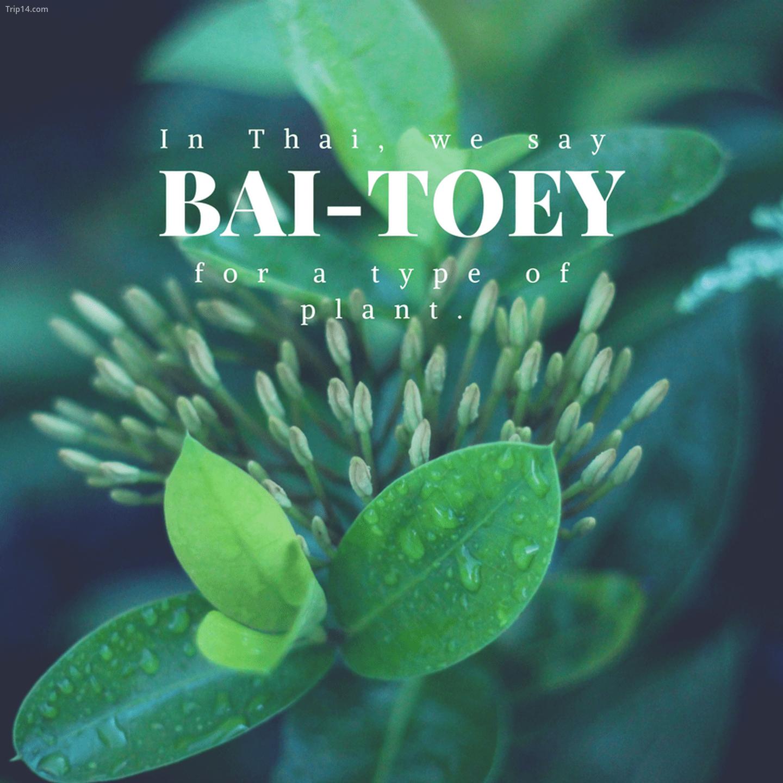 ใบ เตย: Bai-toey