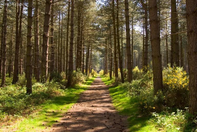 Rừng Thetford là rừng thông đất thấp lớn nhất ở Anh © TMOLandscapes / Alamy Kho ảnh