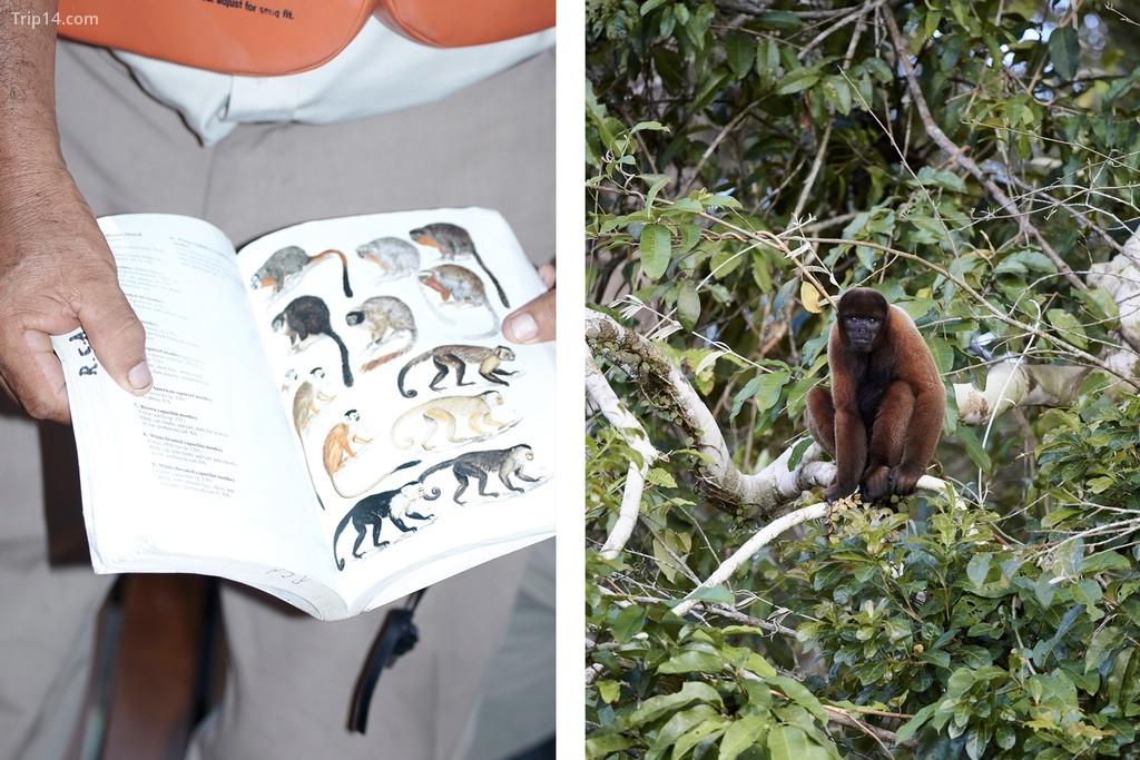 Trái: Một cuốn sách hướng dẫn có hình vẽ của những con khỉ địa phương. Phải: Một trong những con khỉ được chụp trên máy ảnh
