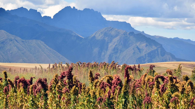 Hoa kiwicha mọc ở Peru, sản xuất một loại siêu thực phẩm