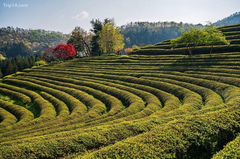 Boseong, Hàn Quốc
