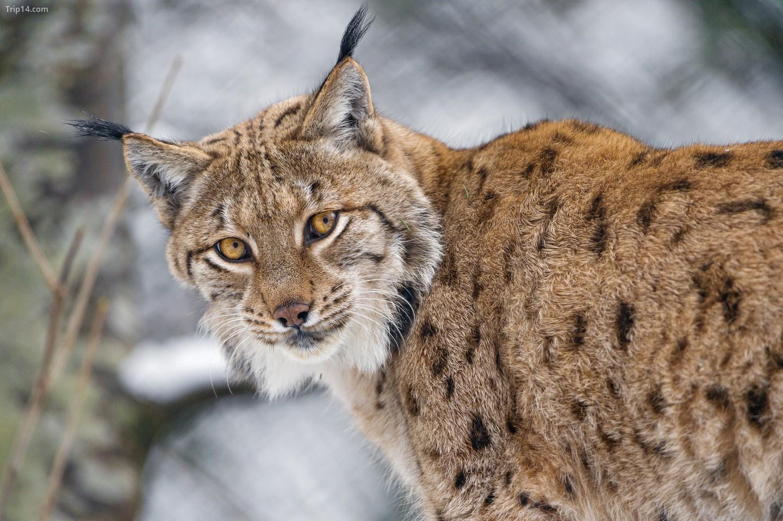 Lynx (Linh miêu Canada)