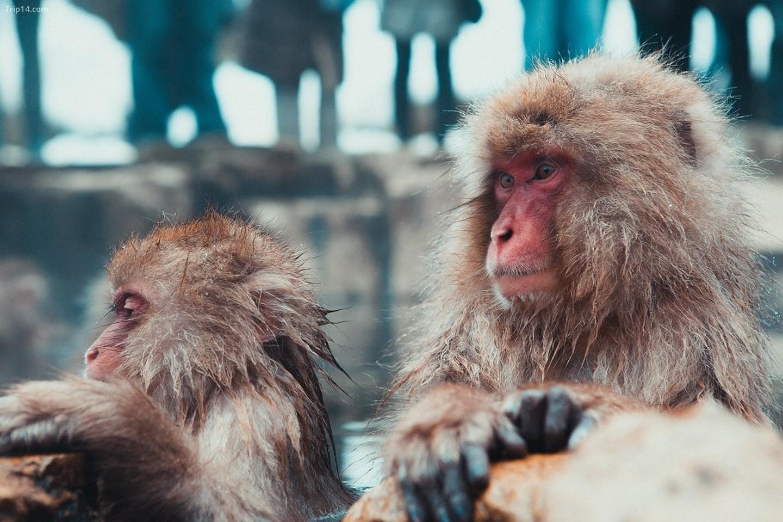 Khỉ tắm suối nước nóng ở tỉnh Nagano, Nhật Bản
