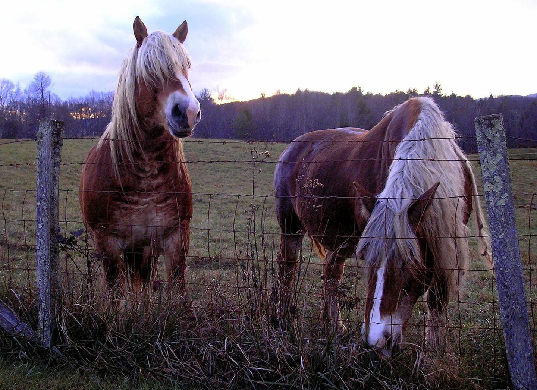 Ngựa Bỉ