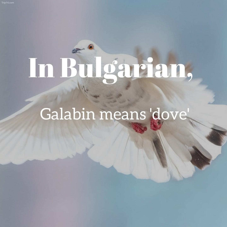 Galabin   |