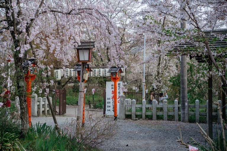 Hoa anh đào nở ở đền Hirano | Ảnh: Jaemin Lee / © Trip14