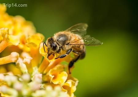Ảnh chụp macro của một con ong mật đang thu thập phấn hoa từ một bụi bướm vàng