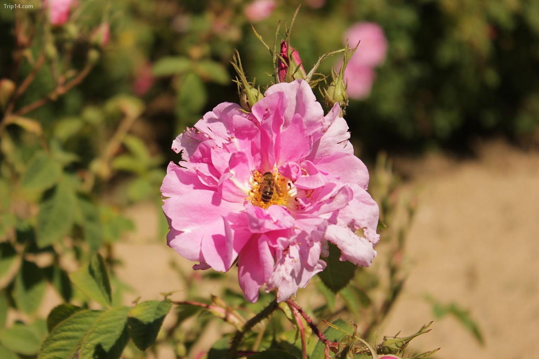 Rosa Damascena