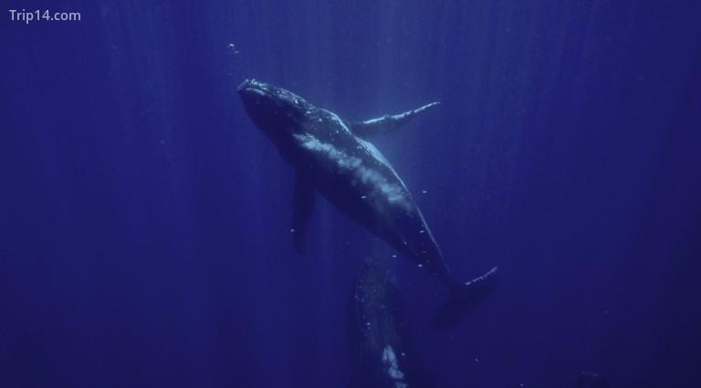 Thợ lặn may mắn ở Gorgona thậm chí có thể nhìn thấy Cá voi lưng gù