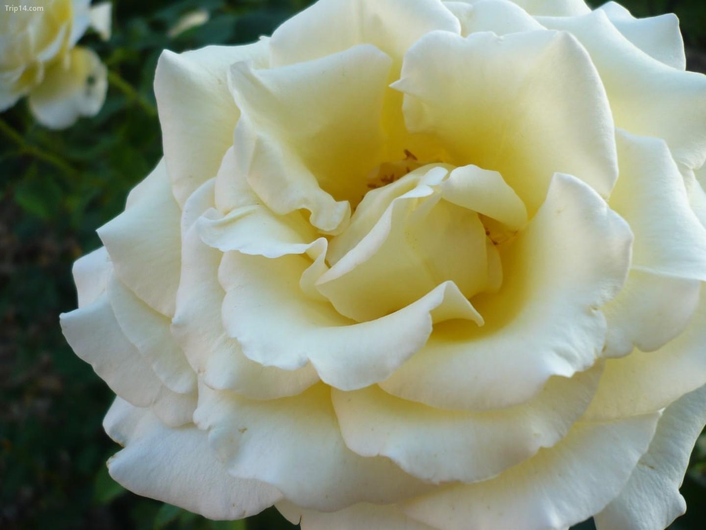 Ruža - Hoa hồng