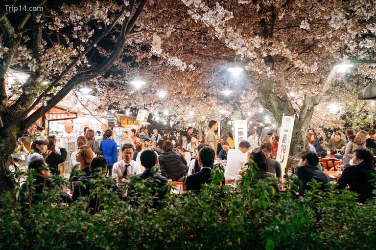 cây hoa anh đào cao hơn 10 mét của Maruyama Koen