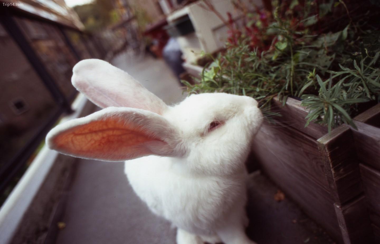 thỏ Flemish