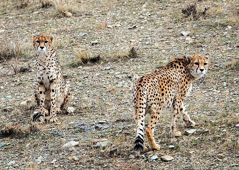 Báo đốm châu Á ở Iran