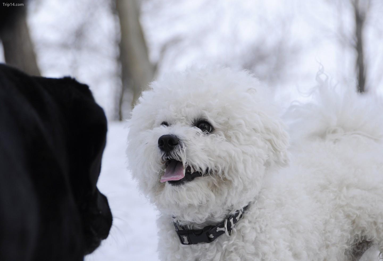 Chó Bichon Frise