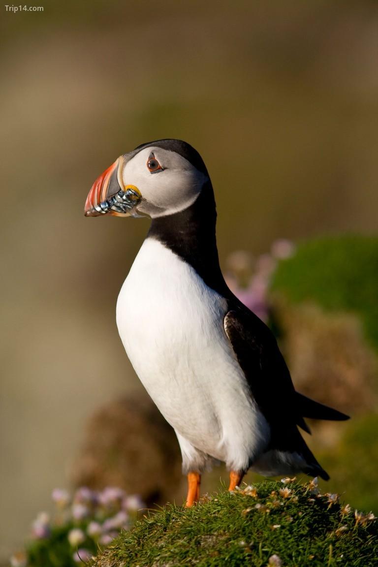 Vị trí biệt lập của Fair Isle ở Bắc Đại Tây Dương khiến nó trở thành điểm tham quan cho nhiều loài chim di cư, bao gồm cả cá nóc © Adam Seward / Alamy Kho ảnh