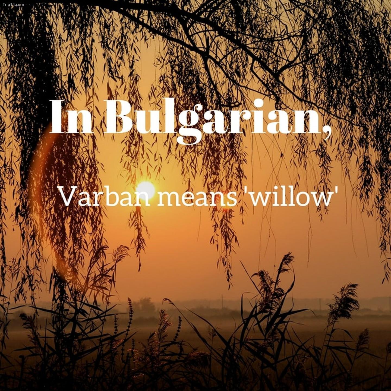 Varban   |
