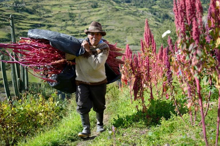 Người dân Peru đã trồng quinoa từ thời cổ đại