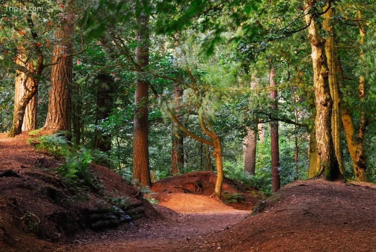 Rừng Delamere nằm về phía tây nam của Manchester, Anh © Tony Eveling / Alamy Kho ảnh