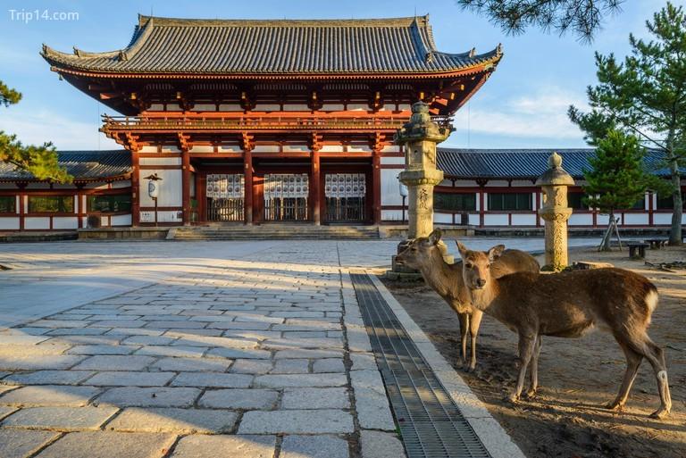 Hươu hoang dã đi lại gần một ngồi đền ở Nara
