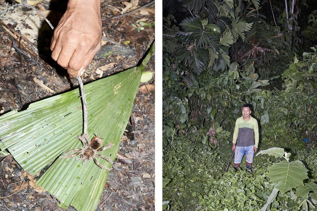 Một nhân viên kiểm lâm công viên phát hiện ra một con tarantula trong Khu bảo tồn quốc gia Pacaya Samiria